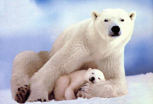 climate-changes-polar-bears-photo-by-just-being-myself.jpg