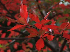 fire-red-leaves-by-ingridtaylar.jpg