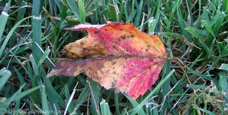 The first red and yellow leaf of 2006.