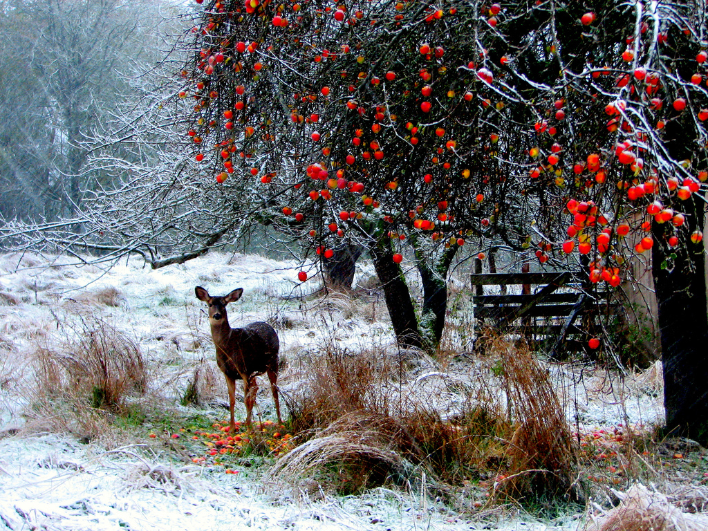 Deer Red Berries By Jan Tik
