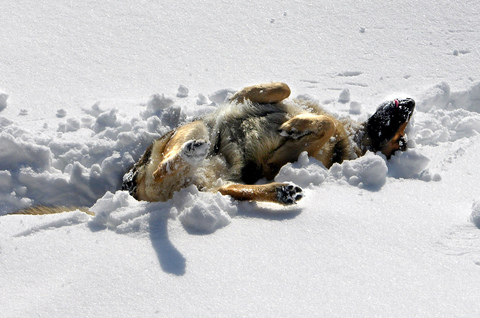 dog-rolling-in-snow-by-Martina-Rathgens.jpg