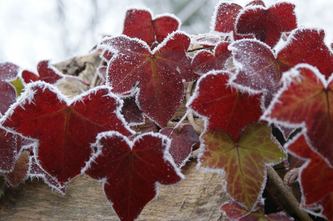 hoar-frost-red-leaves-by-Andrew-Michaels (1).jpg