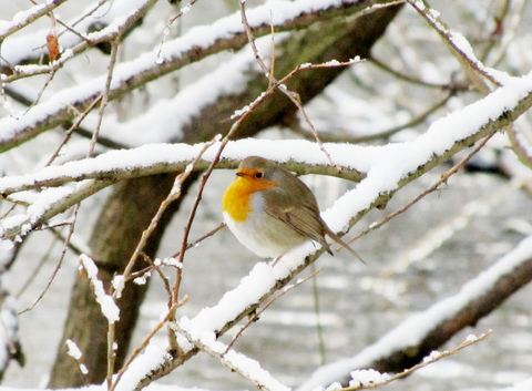 robin-snow-winter-by-Mostly-Dans.jpg